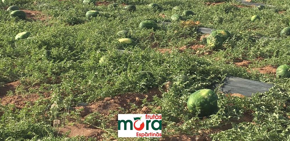 sandia-marruecos-frutas-mora-agricultor_20180614-102942_1